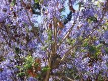 Le pourpre fleurit Ovalle, Chili Photos libres de droits