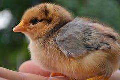 Le poussin élèvera le poulet image libre de droits