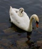 Le poussin mignon drôle se repose au dos de son mère-cygne Images libres de droits
