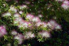 Le powderpuff rose sensible et exubérant en fleur Photographie stock