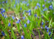 Le pré avec le bleu fleurit le siberica de Scilla Photo libre de droits