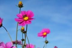 Le pré avec le rose sauvage et le lilas a coloré les fleurs et une abeille sur un ciel bleu Images libres de droits