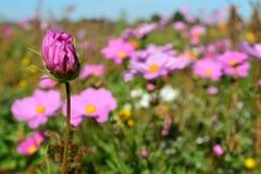 Le pré avec un rose et le lilas a coloré la fleur non-ouverte Photo libre de droits