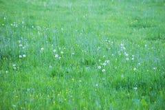 Le pré vert avec des pissenlits fleurissent, champ vert Photo stock