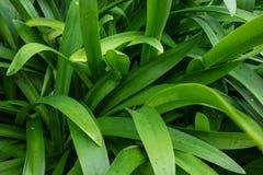 Le praecox d'Agapanthus a appelé la fleur d'amour d'Afrique du Sud avec de petites baisses de pluie Photos libres de droits