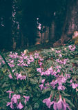 Le pratense de géranium (pré Cranesbill) fleurit le lilas Photo stock