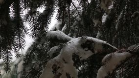 Le precipitazioni nevose sull'abete rosso stock footage