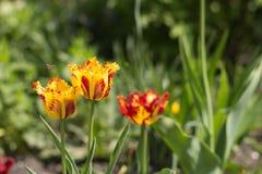 Le premier fleurit au printemps le jardin Image libre de droits