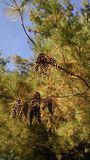 Le premier Pinecones Photo stock