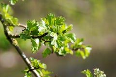 Le premier pousse des feuilles au printemps Image stock
