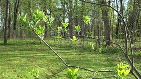 Le premier ressort bourgeonne des feuilles sur la brindille lilas de branche d'arbre 4K clips vidéos