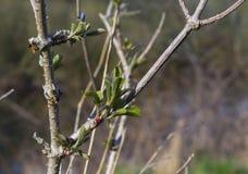 Le prime foglie dell'albero Fotografia Stock