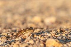 Le prince de grenouille Images libres de droits