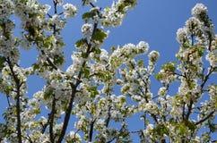Le printemps… a monté des feuilles, fond naturel Beau jardin de floraison contre le ciel bleu lumineux Fleurs de cerisier contre  images stock