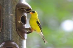 Le printemps apporte de petits oiseaux jaunes, tristis américains de Spinus de chardonneret images libres de droits