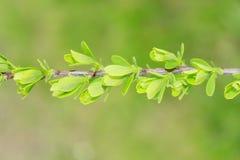 Le printemps… a monté des feuilles, fond naturel images stock