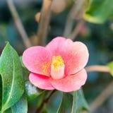 Le printemps rouge fleurit l'azalée Photos libres de droits