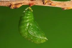 Le procédé de 7/8) guindineau de pupation ( Image libre de droits