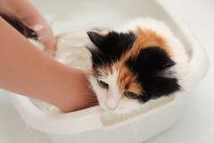Le processus de laver le chat dans la salle de bains Chat humide et malheureux photo stock