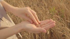 Le producteur de main de femmes examine la culture du blé Zone de blé d'or sunlight MOIS lent banque de vidéos