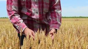 Le producteur vérifie si le blé est prêt pour la récolte banque de vidéos