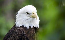 Le profil captif d'Eagle chauve, soutiennent le zoo creux, Athènes la Géorgie Etats-Unis photographie stock libre de droits