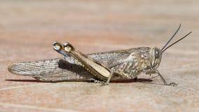 Le profil d'une sauterelle sur des tuiles photo stock