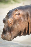 Le profil de l'hippopotame Images libres de droits