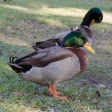 Le profil de la fantaisie Crested le canard de canard sur l'herbe Photographie stock