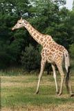 Le profil de la girafe de girafe de Rothschild rare de sous-espèce au vert bague le fond dans le zoo de Varsovie Photo libre de droits