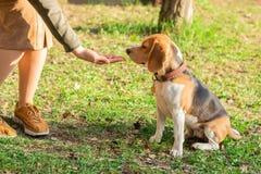 Le propriétaire donne un festin au chien de briquet pour une promenade en parc images libres de droits