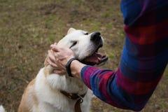 Le propri?taire du chien dans une chemise de plaid et avec une montre-bracelet ?lectrique frotte sa main un inu japonais heureux  images stock
