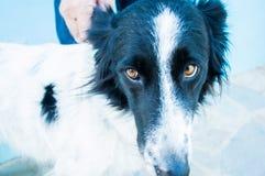 Le propriétaire mauvais du chien tient l'oreille du ` s de chien images libres de droits