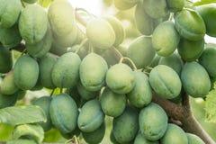 Le prugne maturano al sole su un frutteto immagine stock libera da diritti