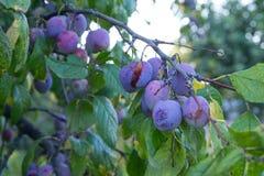 Le prugne mature stanno appendendo su un ramo Immagini Stock
