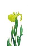 Le pseudacorus d'iris jaune fleurit sur un fond blanc Photo libre de droits