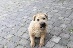 Le puits a toiletté la recherche se reposante blonde comme les blés doucement enduite de Terrier image stock