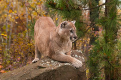 Le puma de mâle adulte (concolor de puma) se tapit sur la roche Image libre de droits