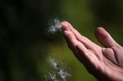 Le punte delle dita liberano i semi dell'erbaccia del latte al vento Immagine Stock
