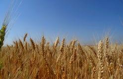 Le punte sul campo segato con grano hanno dettagliato la foto di riserva Immagine Stock Libera da Diritti