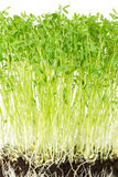Le Puy green lentil seedlings front view Stock Photography