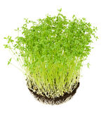 Le Puy green lentil seedlings in potting compost Royalty Free Stock Image