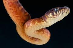 Le python de Boelen/boeleni de Morelia Photographie stock