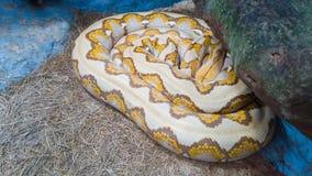 Le python a lieu dans le temps de sommeil photos libres de droits