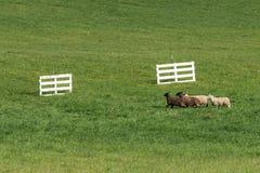 Le quartet du Bélier d'Ovis de moutons courent vers des portes Photos stock