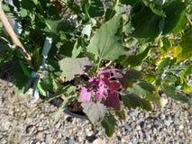 Le quinoa se développe en août images stock
