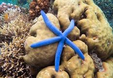 Le récif coralien et l'étoile bleue pêchent la vue supérieure Cinq étoiles de mer de tentacule sur la photo sous-marine de bord d Photo stock