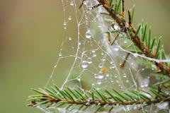 Le réseau d'araignée sur un arbre de pin avec de l'eau chute photo libre de droits
