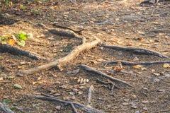 Le radici degli alberi escono dalla terra nella foresta fotografia stock libera da diritti