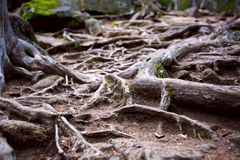 Le radici degli alberi nella foresta Immagine Stock